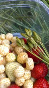 Hvide skovjordbær, røde jordbær og sødskæmfrø fra et par uger siden