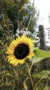 Solsikkehovede, brunt med gule kronblade