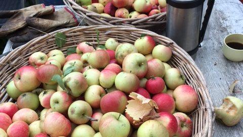 MacIntosh-æbler i kurve